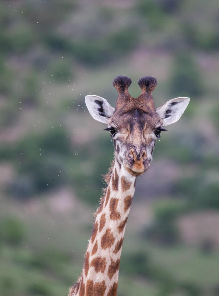 Giraffe | Safari © Robert Sommer