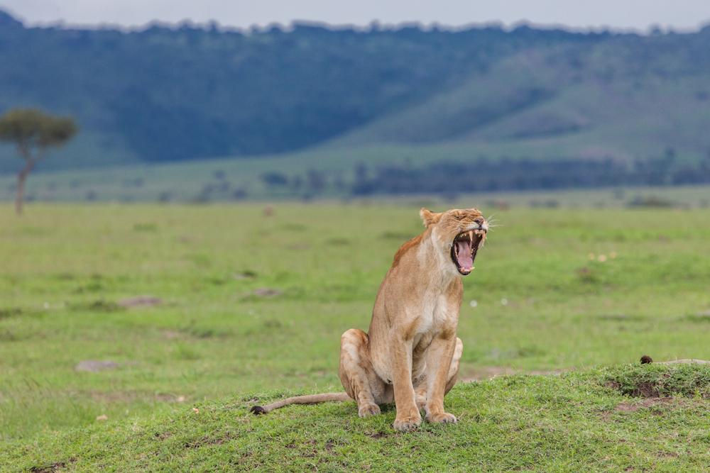 Löwe  Safari © Robert Sommer