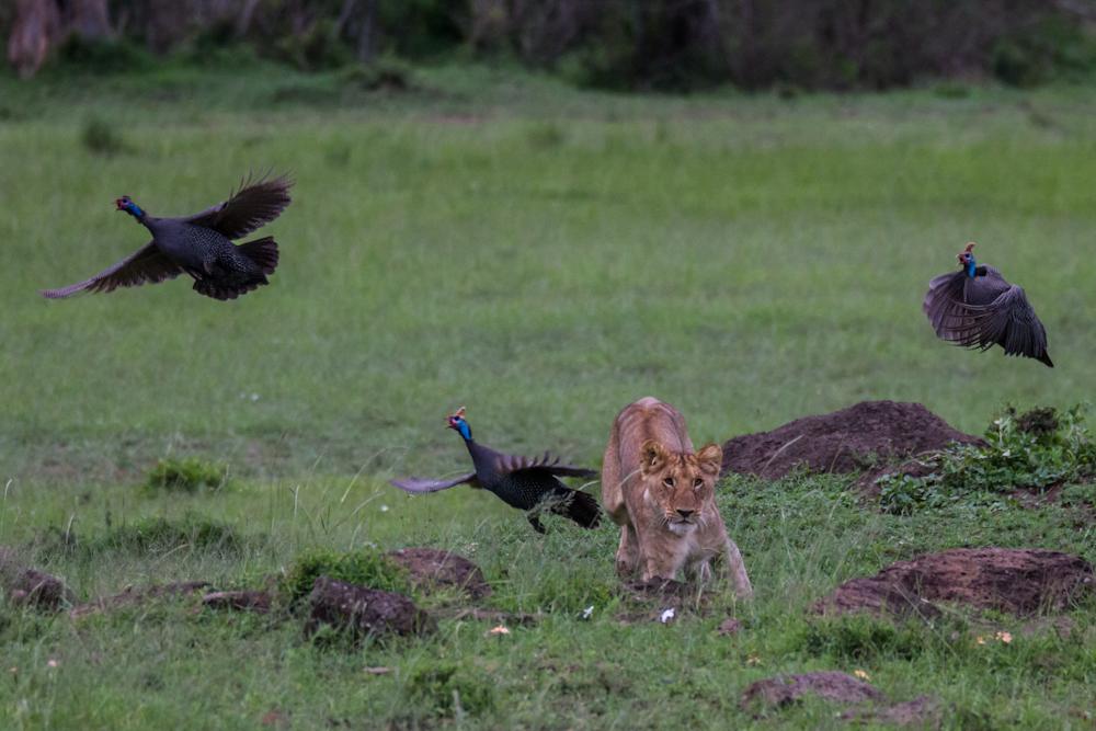 Löwen auf der Jagd | Safari © Robert Sommer