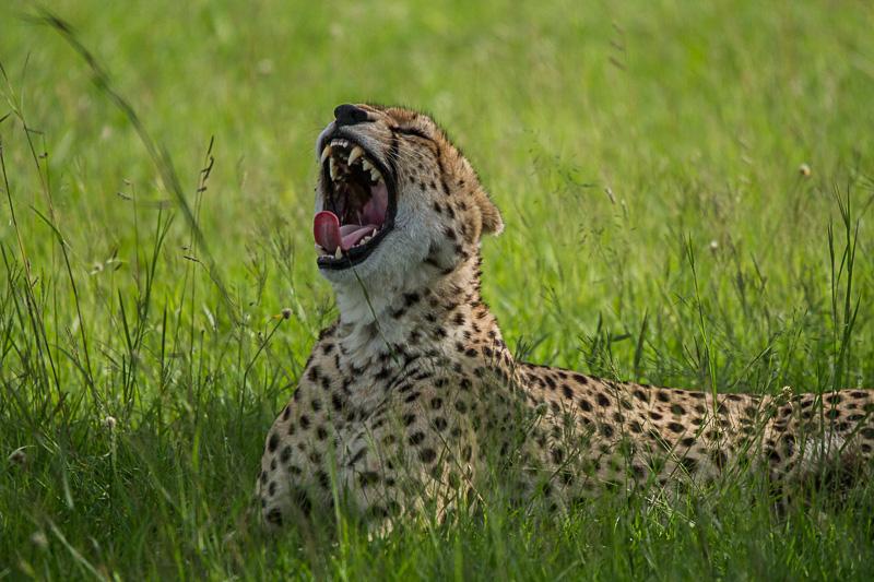 Gepard © Robert Sommer