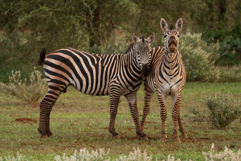 Zebras © Robert Sommer