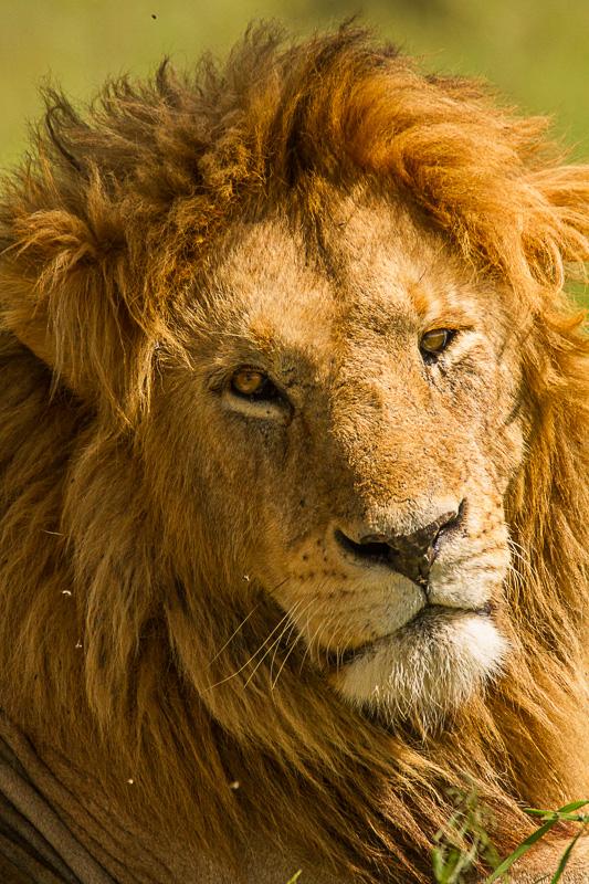 Löwe © Robert Sommer