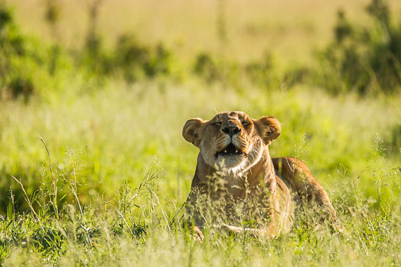 Löwin © Robert Sommer
