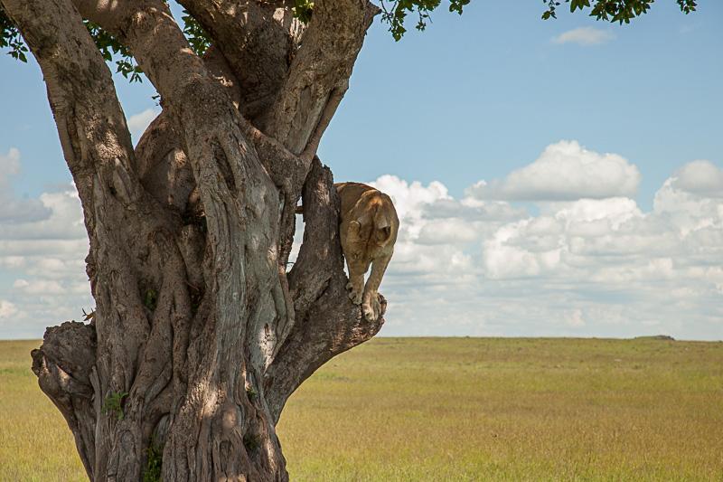 Löwen © Robert Sommer