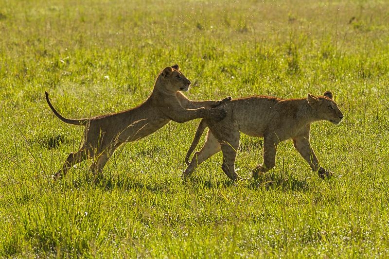 Löwenkinder © Robert Sommer