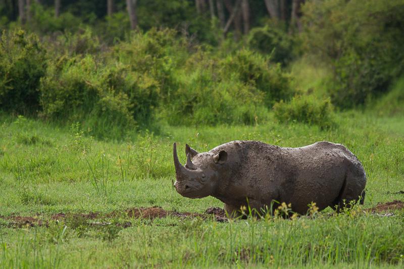 Nashorn © Robert Sommer