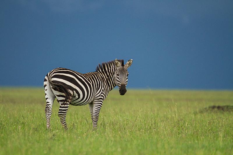 Zebra © Robert Sommer