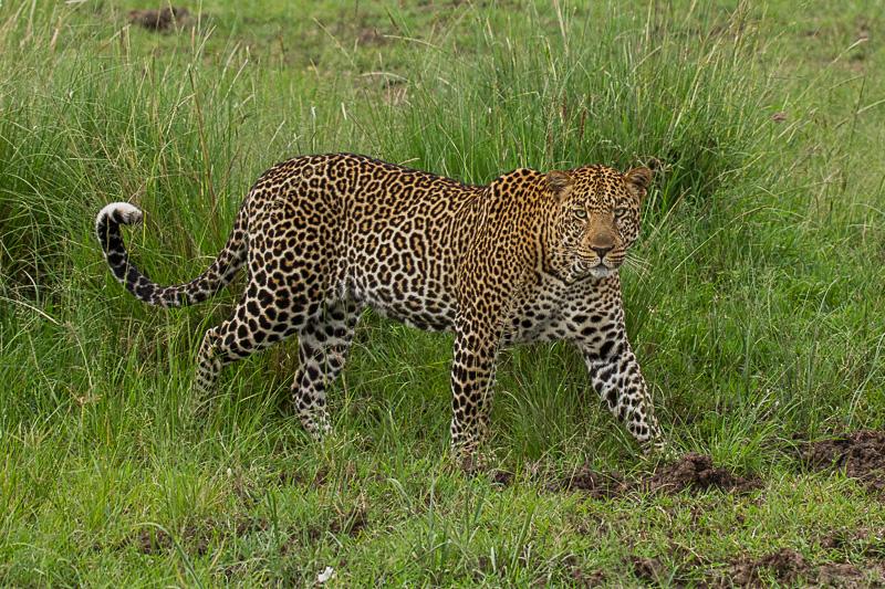 Leopard © Robert Sommer