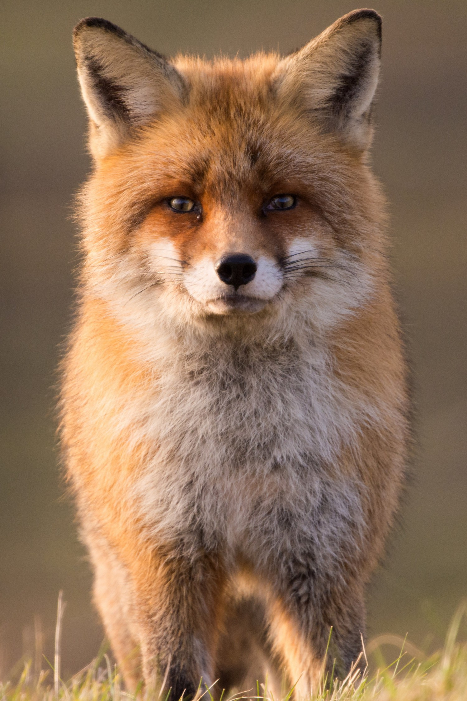 Fuchs | Tierfotografie © Alexander Ahrenhold