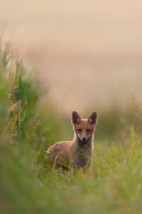 Jungfuchs | Tierfotografie © Alexander Ahrenhold