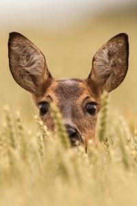 Ricke | Tierfotografie © Alexander Ahrenhold