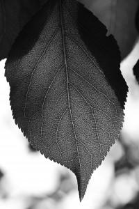 Light on a leave | Schwarzweiß-Fotografie