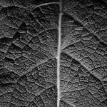 Die Blattstruktur im Fokus | Schwarzweiß-Fotografie