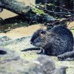 Ein Biber bei einem genüsslichen Sonnenbad | Tierfotografie