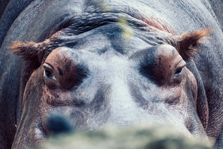 Flusspferd im Fokus | Tierfotografie