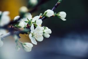 Kirschblüten in ihrer Pracht | Makrofotografie