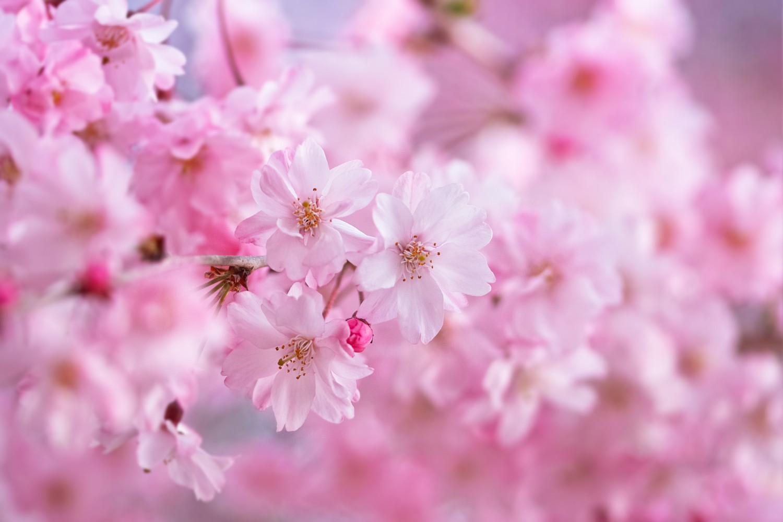 Kirschblüte | Makrofotografie
