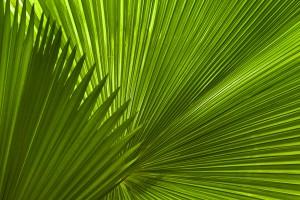 Palmenblätter | Makrofotografie