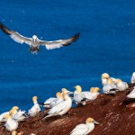 Tierfotografie auf Helgoland mit dem SIGMA 150-600mm F5-6,3 DG OS HSM   Contemporary ©Robert Sommer