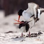 Tierfotografie auf Helgoland mit dem SIGMA 150-600mm F5-6,3 DG OS HSM | Contemporary ©Robert Sommer