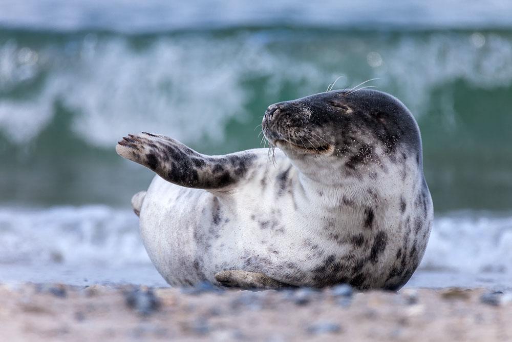 Tierfotografie auf Helgoland mit dem SIGMA 150-600mm F5-6,3 DG OS HSM | Contemporary und Tele-Konverter TC-1401 ©Robert Sommer