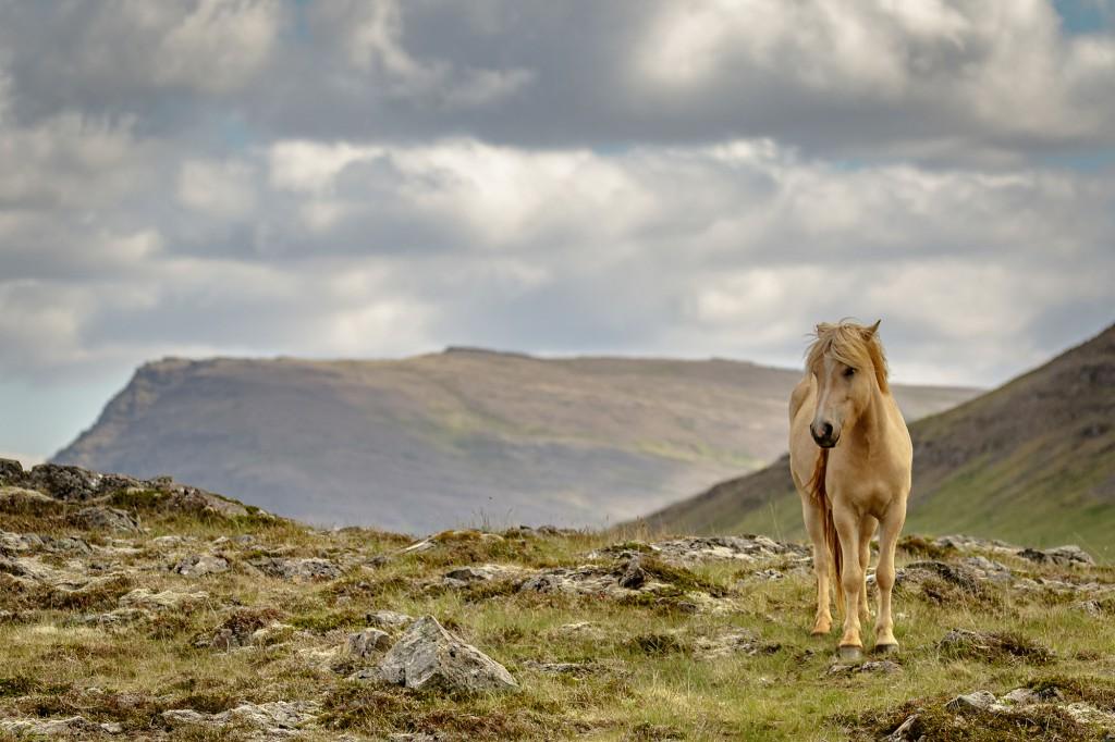Islandpferd ©Andreas Hütten