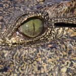 Krokodil ©Andreas Winkel