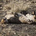 Gepard ©Andreas Winkel
