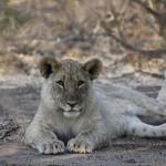 Löwin ©Andreas Winkel