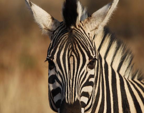 Zebra ©Andreas Winkel