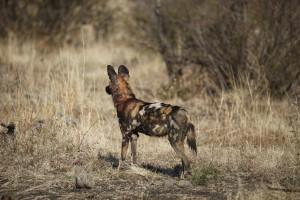 Wildhund ©Andreas Winkel