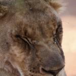 Löwe ©Andreas Winkel