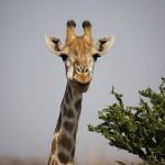Giraffe ©Andreas Winkel