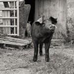 Schwein © Andreas Lier