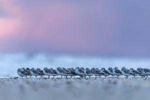 Sanderlinge © Robert Sommer