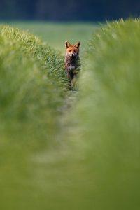 Fuchs und Dachs © Kevin Winterhoff