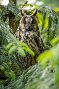 Waldohreule © Macrofreak