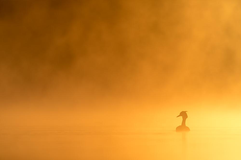 Haubentaucher © Robert Sommer