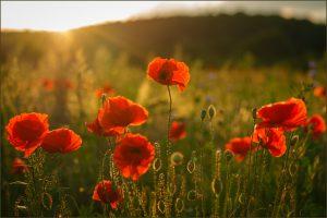 Sonneuntergangsmohn © Wolfram Schmidt