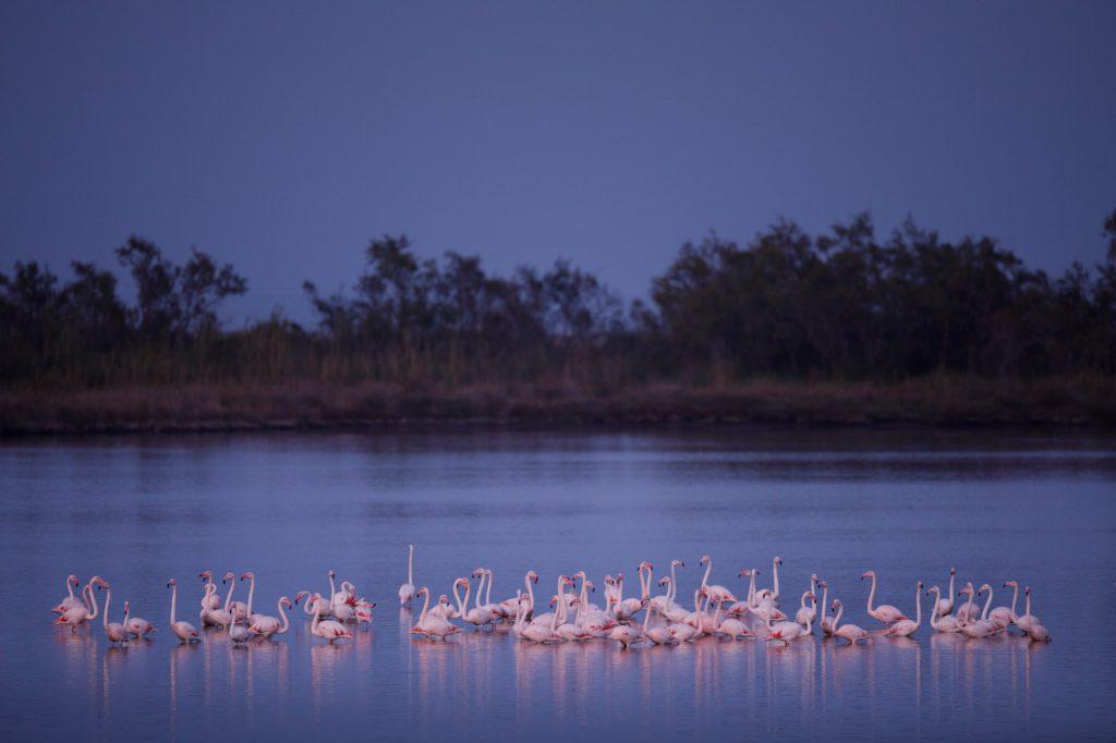 Camargue Flamingo © Kevin Winterhoff