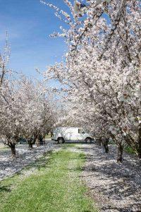 Mandelblüte in Kalifornien © Sylwia Gervais