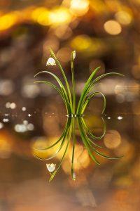 Wieder und Wieder - Der Märzenbecher - Der Märzenbecher © Robert Sommer