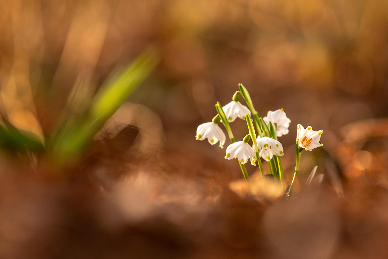 Wieder und Wieder - Der Märzenbecher © Robert Sommer