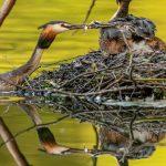 Ein Frühling bei den Haubentauchern © Robert Sommer