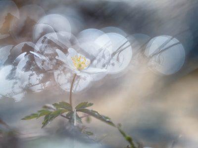 Projekt Anemonen von Ines Mondon © Ines Mondon